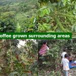 Coffee Grown Sourrounding areas