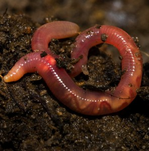 ecology earthworms A general description of earthworm ecology and anatomy.